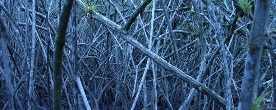 AMP_mangrove1